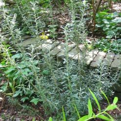 Chiliotrichum diffusum 'Siska' -