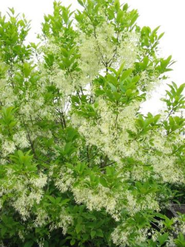 Chionanthus virginicus - Sneeuwvlokkenboom
