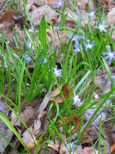 Chionodoxa luciliae  - Kleine sneeuwroem