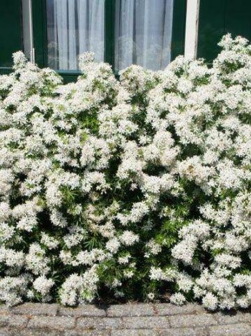 Choisya ternata 'White Dazzler' (='Londaz') - Mexicaans oranjebloesem