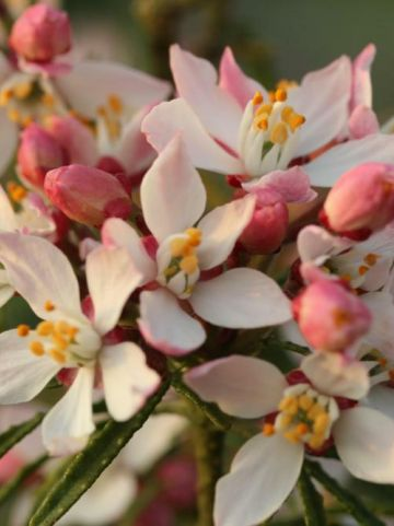 Choisya ternata 'Apple Blossom' (='PMOORE09') - Mexicaans oranjebloesem