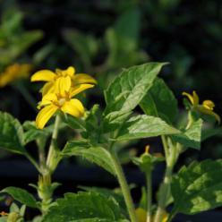 Chrysogonum virginianum - Gouden ster, goudster