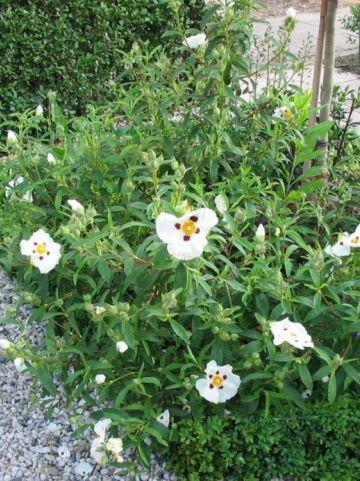 Cistus × aguilarii 'Maculatus' - Cistusroos