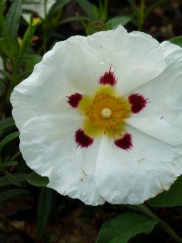 Cistus × dansereaui 'Decumbens' - Cistusroos