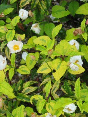 Cistus × hybridus 'Gold Prize' (='Wyecis') - Cistusroos