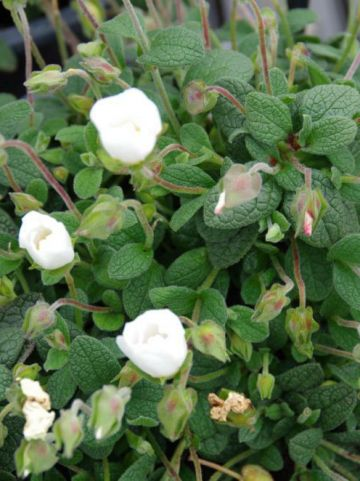 Cistus × obtusifolius  - Cistusroos