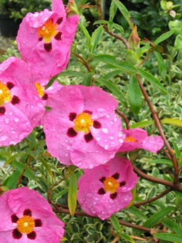 Cistus × purpureus  - Cistusroos