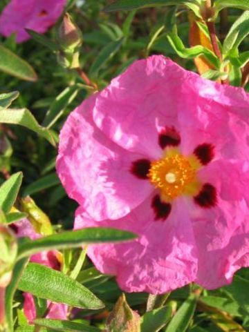 Cistus × purpureus 'Betty Taudevin' - Cistusroos
