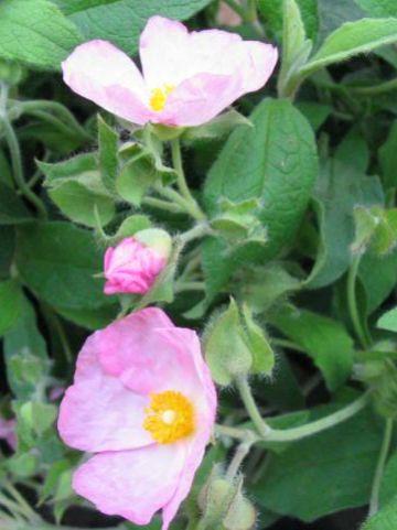 Cistus  'Grayswood Pink' - Cistusroos