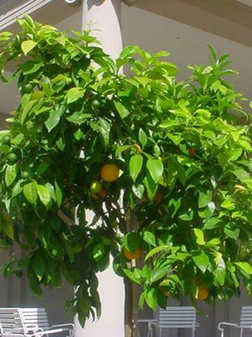 Citrus aurantium  - Bittersinaasappel
