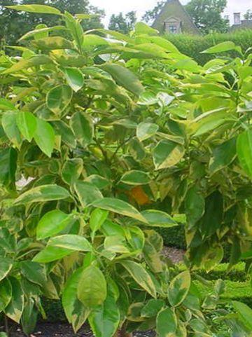 Citrus aurantium 'Variegata' - Bontbladige citrusvrucht
