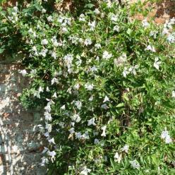 Clematis 'Alba Luxurians' - Bosdruif, bosrank
