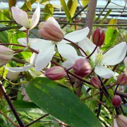 Clematis armandii 'Apple Blossom' - Groenblijvende bosrank