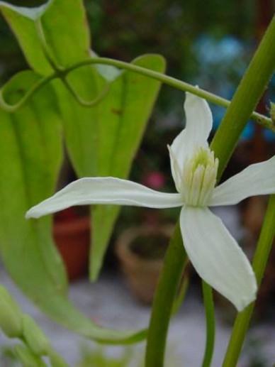 Clematis armandii 'Little White Charm' - Groenblijvende bosrank