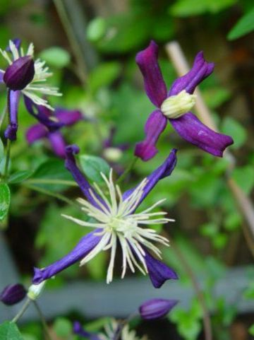 Clematis × aromatica  - Bosrank