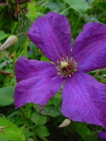 Clematis  'Blue Belle' - Bosrank