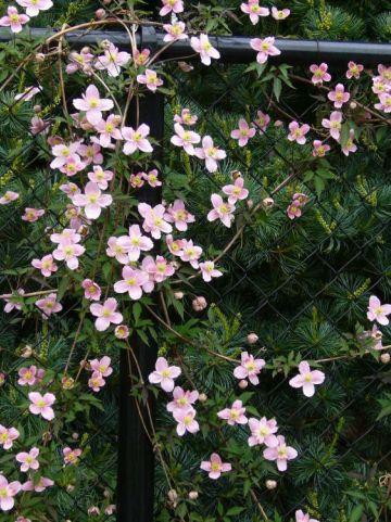 Clematis  'Pink Starlight' (='Cadson2') - Bosrank