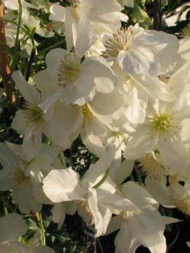 Clematis × cartmanii  'Avalanche' - Groenblijvende bosrank