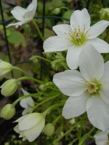 Clematis × cartmanii  'Joe' - Groenblijvende bosrank