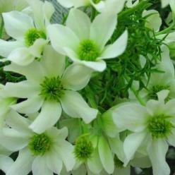 Clematis × cartmanii  'Snow Valley' - Groenblijvende bosrank