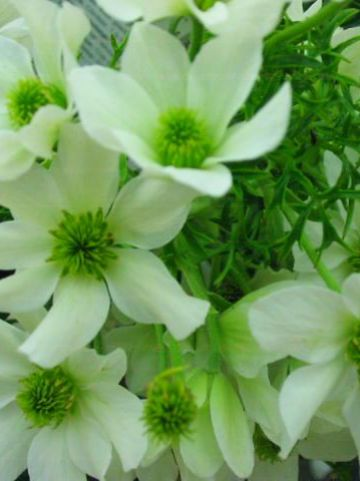 Clematis × cartmanii  'Snow Valley' - Groenblijvende bosrank