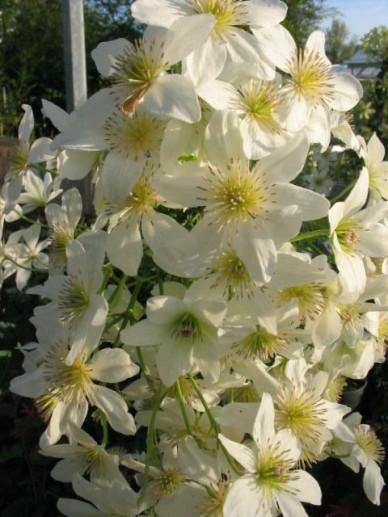 Clematis × cartmanii  'White Abundance' - Groenblijvende bosrank