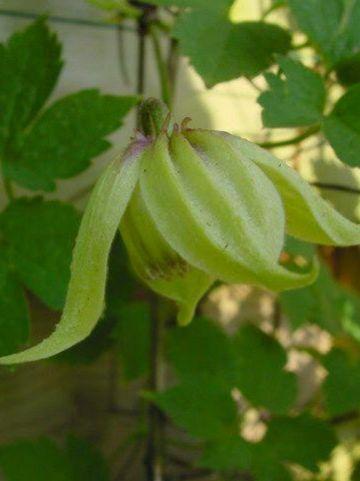 Clematis chiisanensis  - Bosrank