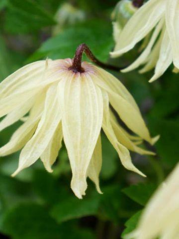 Clematis chiisanensis 'Amber' (='WIT141205') - Bosrank