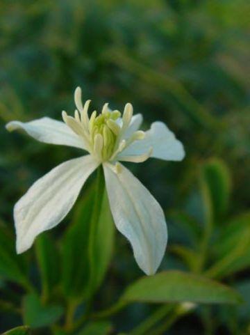 Clematis chinensis  - Bosrank