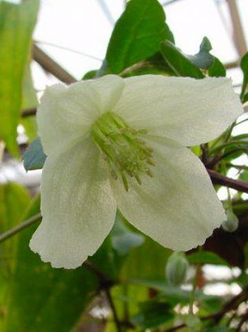 Clematis cirrhosa 'Wisley Cream' - Groenblijvende bosrank