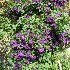 Clematis 'Etoile Violette' - Bosdruif, bosrank