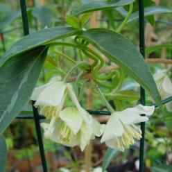 Clematis fasciculiflora  - Groenblijvende bosrank