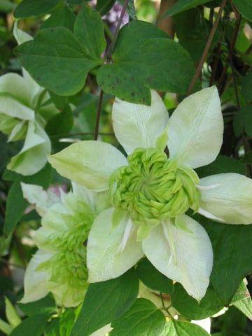 Clematis florida 'Alba Plena' - Bosrank