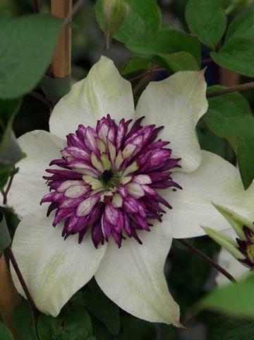 Clematis florida 'Sieboldii' - Bosrank