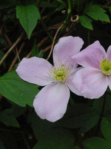 Clematis  'Fragrant Spring' - Bosrank
