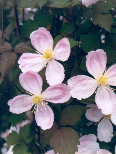 Clematis  'Giant Star' (='Gistar') - Bosrank