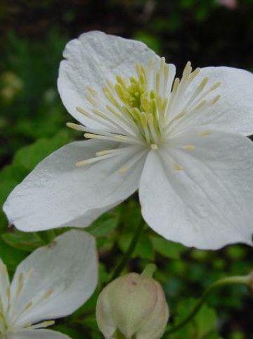 Clematis gracilifolia  - Bosrank