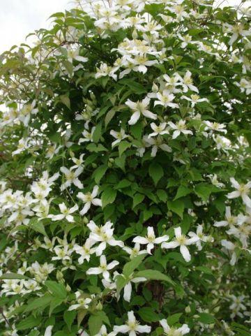 Clematis montana ´Alba´ - Bosrank, bosdruif