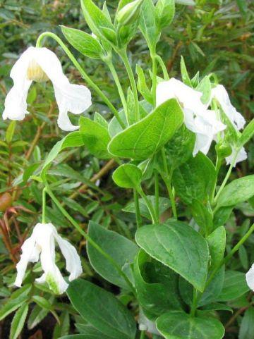 Clematis integrifolia 'Alba' - Bosrank