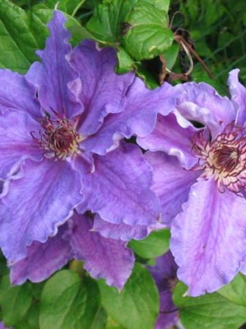 Clematis  'Lord Nevill' - Grootbloemige bosrank