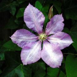 Clematis  'Margaret Hunt' - Grootbloemige bosrank
