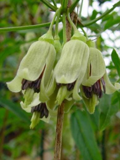Clematis napaulensis  - Bosrank