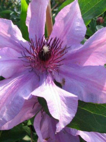 Clematis  'Natascha' - Grootbloemige bosrank