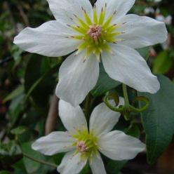 Clematis paniculata  - Groenblijvende bosrank