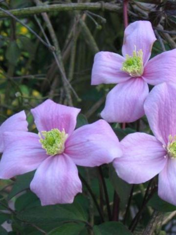 Clematis  'Pink Perfection' - Bosrank