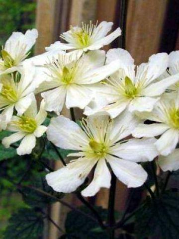 Clematis potaninii  - Bosrank