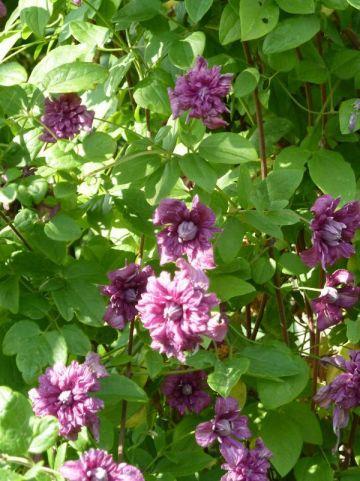 Clematis  'Purpurea Plena Elegans' - Bosrank