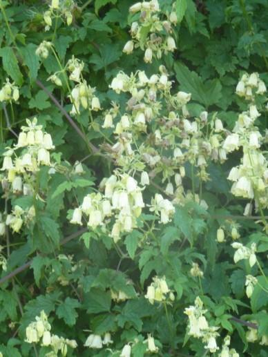 Clematis rehderiana  - Bosrank