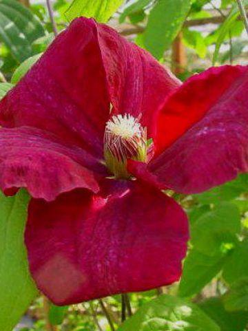 Clematis  'Rouge Cardinal' - Grootbloemige bosrank