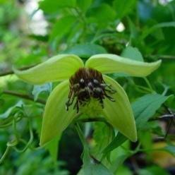 Clematis serratifolia  - Bosrank